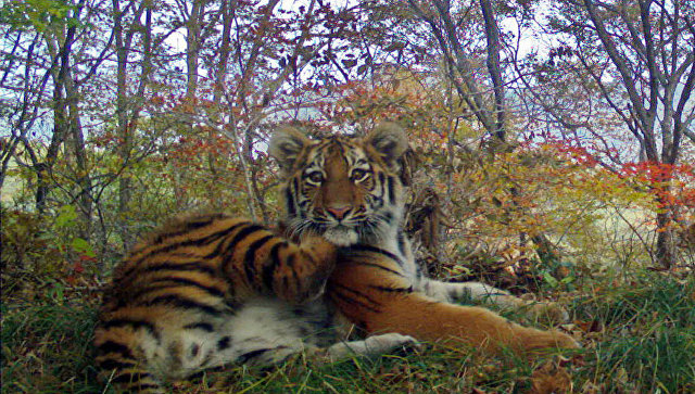 Тигриное семейство устроило фотосессию на Земле леопарда