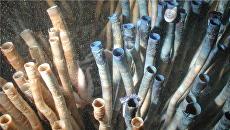 Глубоководные черви из Карибского моря, самые долгоживущие животные на Земле