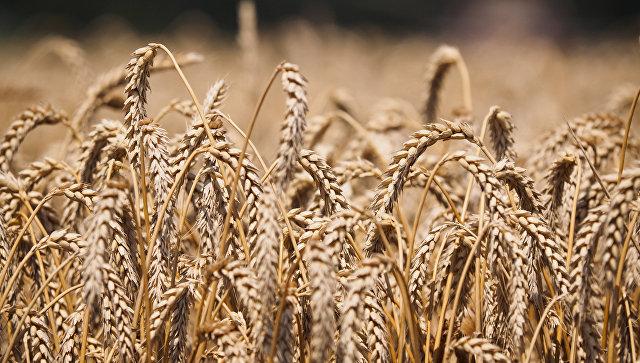 Пшеницы. Архивное фото