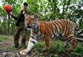 Десятимесячный тигренок Шерхан играет с сотрудником сафари-парка в вольере Приморского сафари-парка