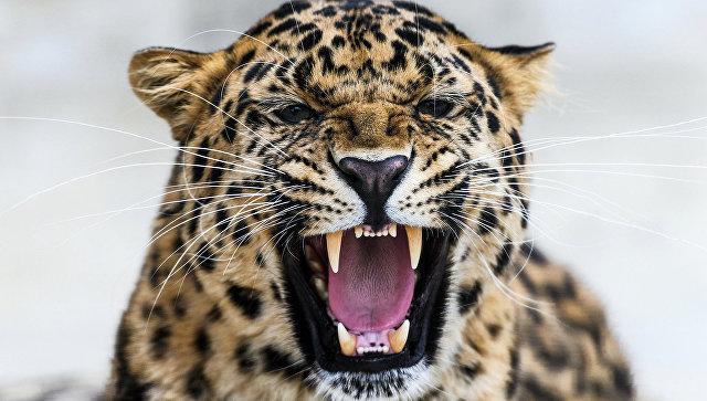 Руководитель саратовского контактного зоопарка схвачен поделу онападении леопарда наребенка