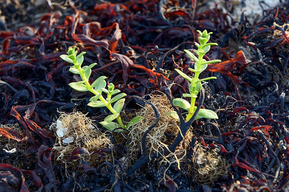 Филлофора – красные водоросли и гонкения бутерлаковидная в Онежском заливе в районе мыса Глубокий