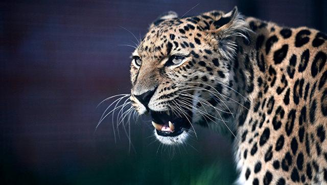 """В парке """"Красная Пресня"""" пройдет """"День леопарда"""""""