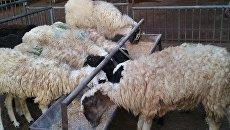 Грузинские барашки на старейшем скотном рынке в Дубае