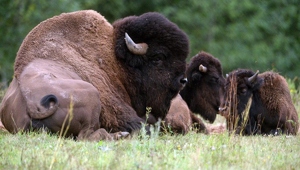 Первых лесных бизонов выпустили наволю вЯкутии