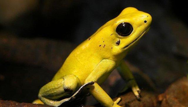 Лягушка-древолаз Phyllobates terribilis