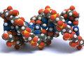 молекула ДНК (B форма)