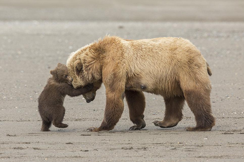 Работа фотографа из США Ashleigh Scully Bear hug в категории Молодой фотограф от 11 до 14 лет в финале конкурса Wildlife Photographer of the Year 2017
