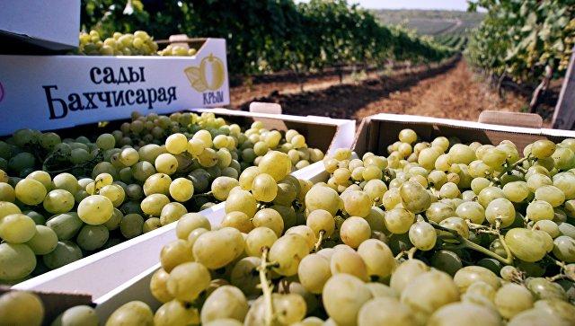Сбор винограда в Крыму. Архивное фото