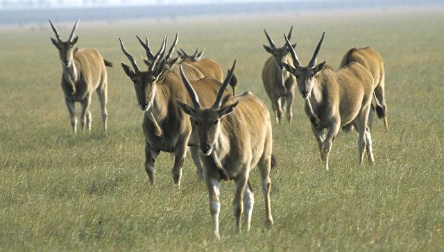 Заповедник Аскания-Нова. Стадо антилоп