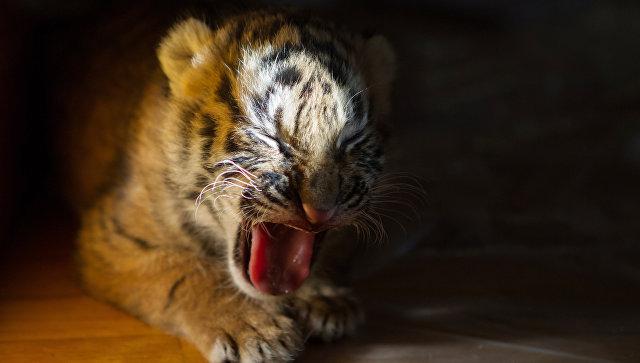 Найденный в Хабаровском крае тигренок умер от истощения, выяснили эксперты