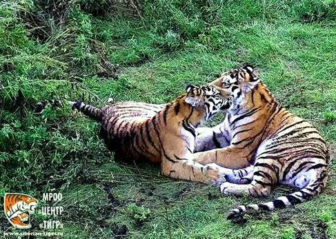 Недавно тигрята вместе завалили оленя