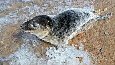 Выпуск в море детеныша тюленя. Архивное фото