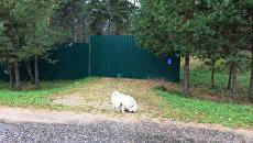 Собака на даче Улюкаева в деревне Абрамово Смоленской области