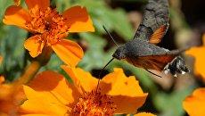 Бабочка-колибри (бражник). Архивное фото