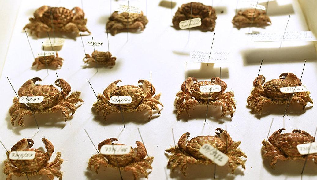 Коллекция десятиногих ракообразных (крабов). Архивное фото