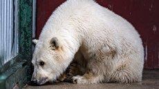 Белый медвежонок, доставленный из Якутии, в Московском зоопарке. 9 октября 2017