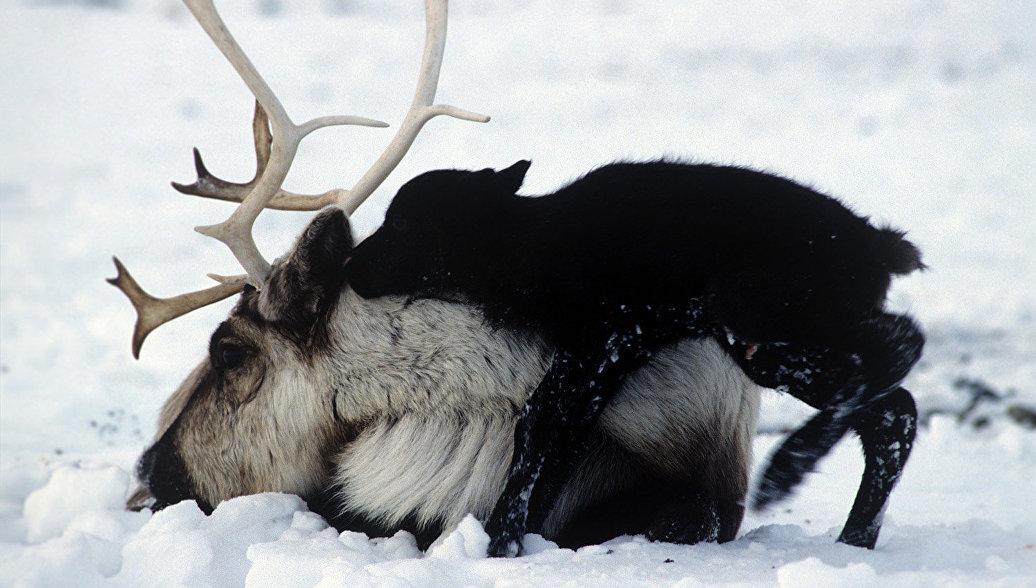 В Водлозерском парке будут отслеживать редкий вид дикого северного оленя