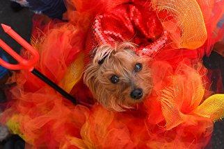 Костюмированный Хэллоуин-парад собак в Нью-Йорке