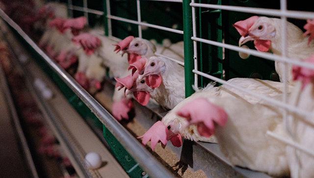 Куры на птицефабрике