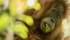 Орангутан тапанули