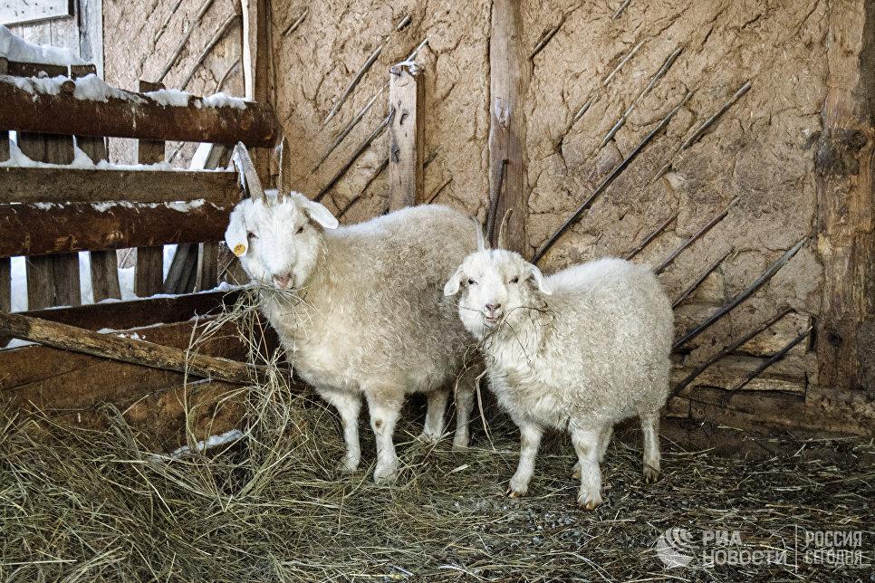Оренбургские козы в загоне.