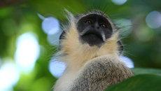 Африканская зеленая мартышка
