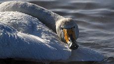 Лебедя-кликуна передали в экоцентр заповедника «Кузнецкий Алатау»