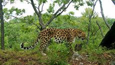 Воспитанницы пансиона Минобороны дали имя дальневосточному леопарду