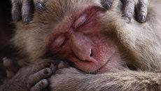 Работа фотографа Lance McMillan Macaque maintenance, получившая почетный приз в категории Дикая природа в фотоконкурсе 2017 National Geographic Nature Photographer of the Year