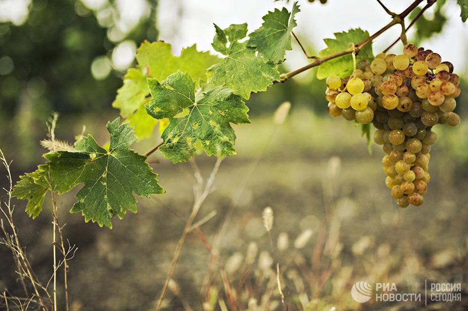Сбор винограда длится с середины августа до начала ноября. Последними собирают сорта, которые идут на десертные ликерные вина.