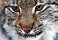 Европейская рысь из Новосибирского зоопарка осваивает новую территорию в Приморском сафари-парке