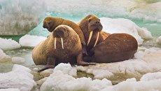Моржи в национальном парке Берингия. Архивное фото