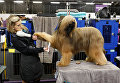 Ежегодная выставка собак Westminster Kennel Club в Нью-Йорке