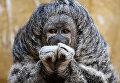 Саки-монах в зоопарке Parque de Las Leyendas в Лиме, Перу