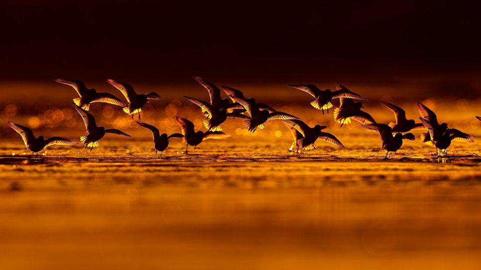 Сандерлингские болотные птицы во время миграции, Астурия, Испания