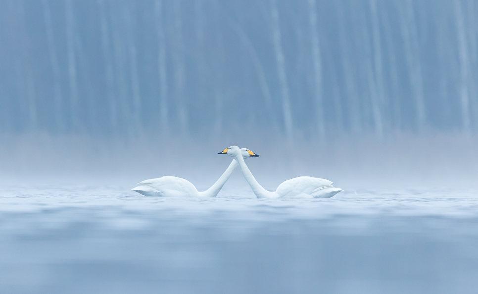 Лебеди-кликуны, Джанаккала, Финляндия