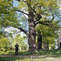 Один из четырех Петровских дубов в парке музея-заповедника Коломенское