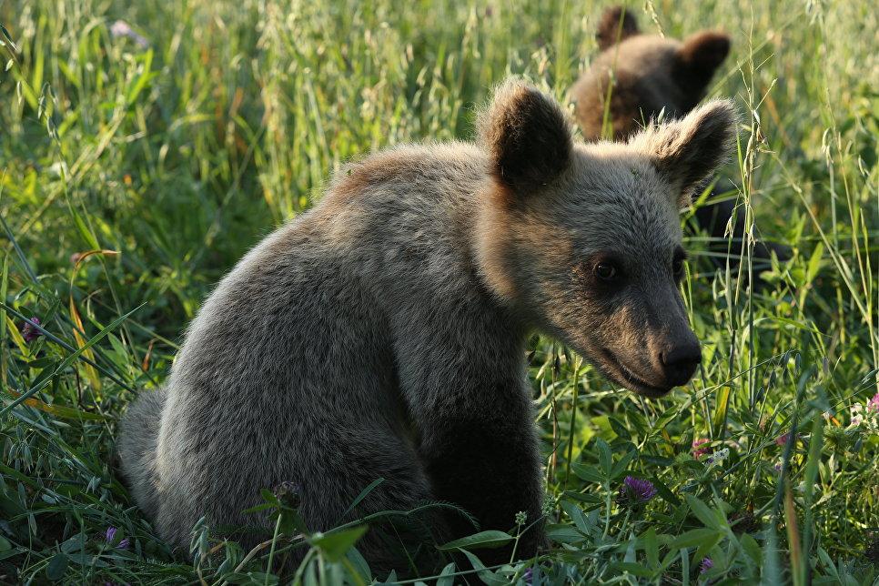 Медвежонок-сирота на биостанции Чистый лес, деревня Бубоницы, Тверская область.