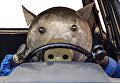 Поросенок (водитель). Экспонат парка-музея металлических скульптур СГТУ имени Гагарина Ю.А.