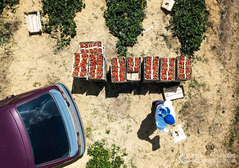 Во время сбора урожая клубники в Краснодарском крае