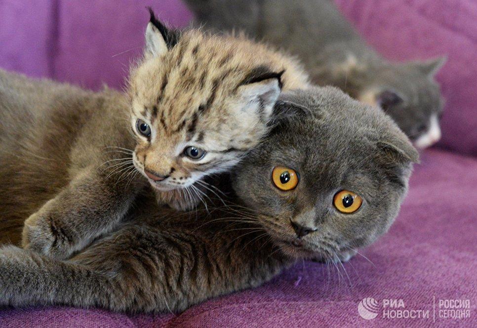 Кошка по кличке Моника и рысенок, которого она выкормила в зоопарке Чудесный