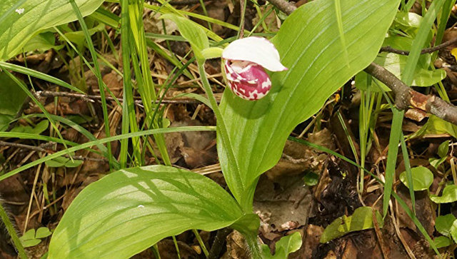 Вид орхидеи — башмачок крапчатый в Керженском заповеднике