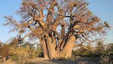 Баобаб Чапмэн, дерево возрастом в 1300 лет, погибшее в 2016 году