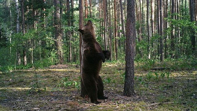 Медведь-великан в объективе фотоловушки возле деревни Чухраи в заповеднике Брянский лес
