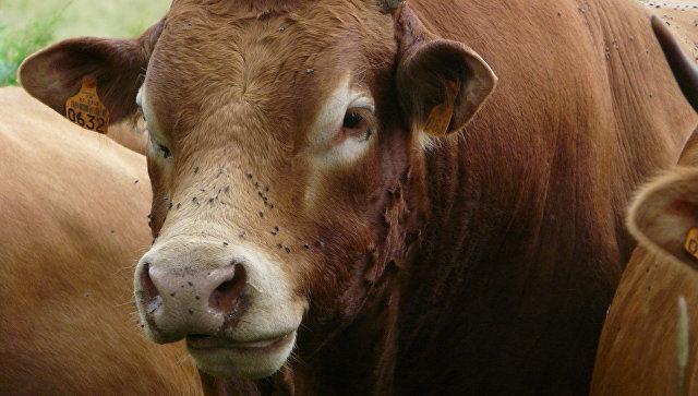 Корова Лимузинской породы