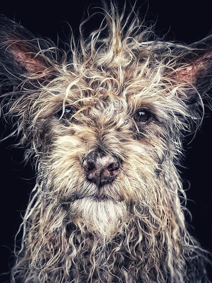 Работа фотографа Robin Robertis из Соединенных штатов Django Old man baby dog, занявшая первое место в категории Животные в фотоконкурсе 2018 iPhone Photography Awards