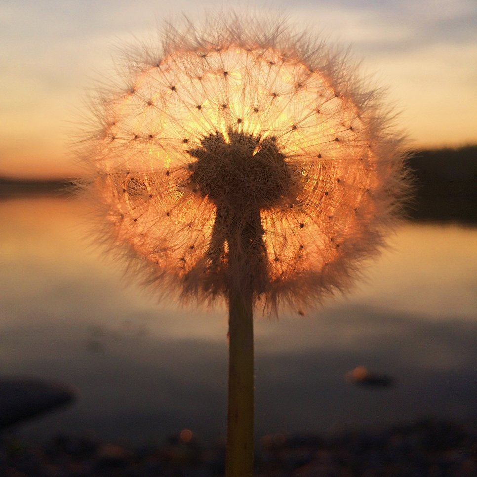 Работа фотографа Sara Ronkainen из Финляндии Dandelion sunset, занявшая первое место в категории Закат в фотоконкурсе 2018 iPhone Photography Awards