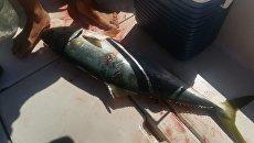 Лакедра, вырванная у акулы во время соревнований по подводной охоте в Приморье