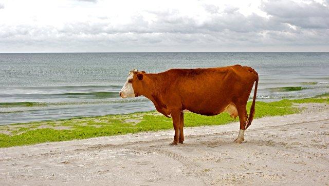 Корова на пляже